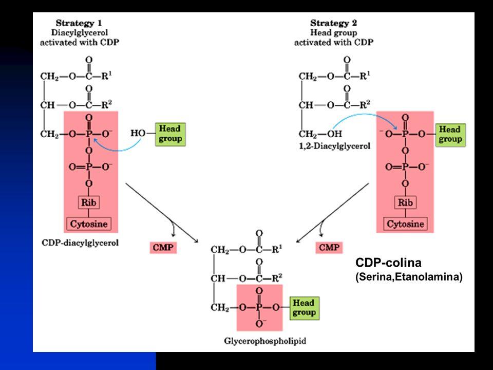 CDP-diacilglicerol 1,2-Diacilglicerol Glicerofosfolípido Serina, Etanolamina )