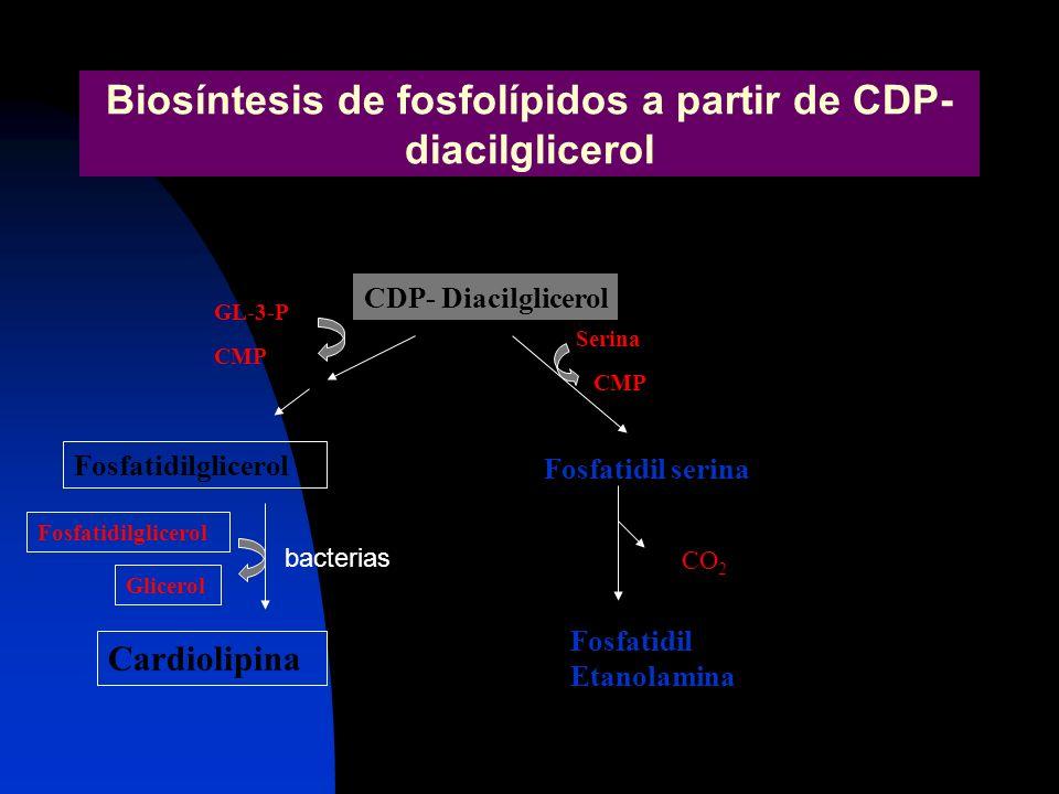 Biosíntesis de fosfolípidos a partir de CDP- diacilglicerol CDP- Diacilglicerol GL-3-P Fosfatidilglicerol Cardiolipina Glicerol Fosfatidil serina CMP