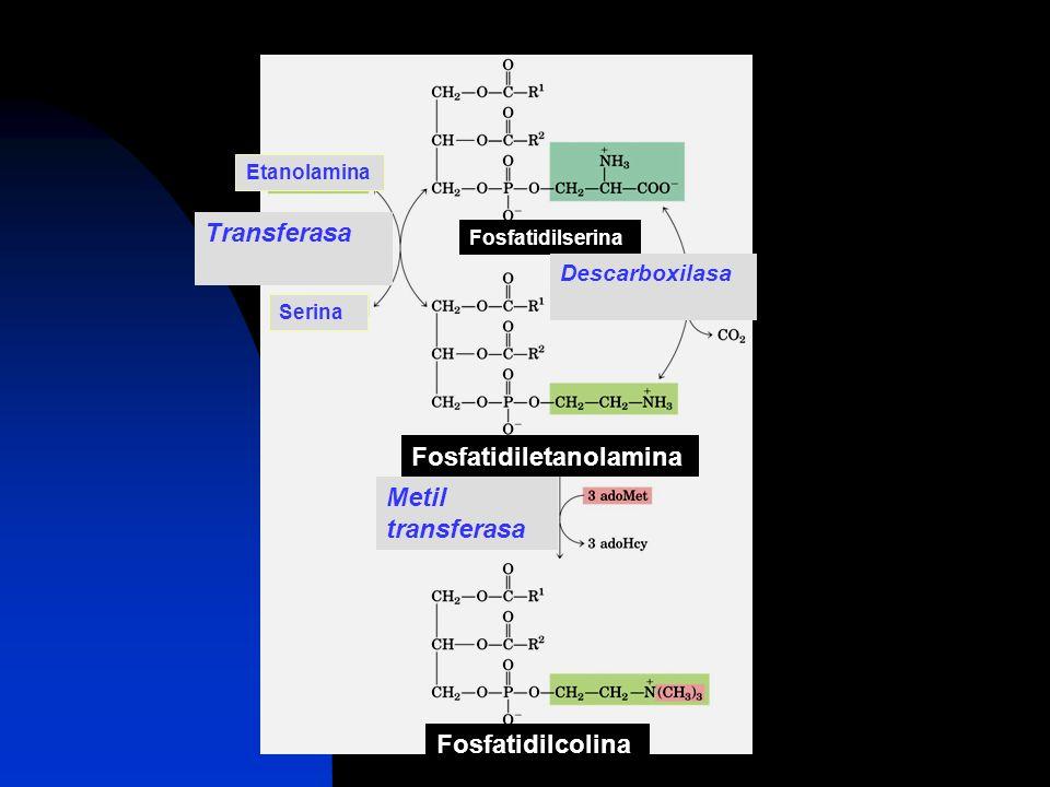 Fosfatidilserina Etanolamina Serina Transferasa Descarboxilasa Fosfatidiletanolamina Metil transferasa Fosfatidilcolina