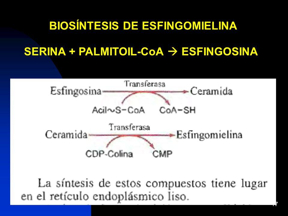 17 BIOSÍNTESIS DE ESFINGOMIELINA SERINA + PALMITOIL-CoA ESFINGOSINA