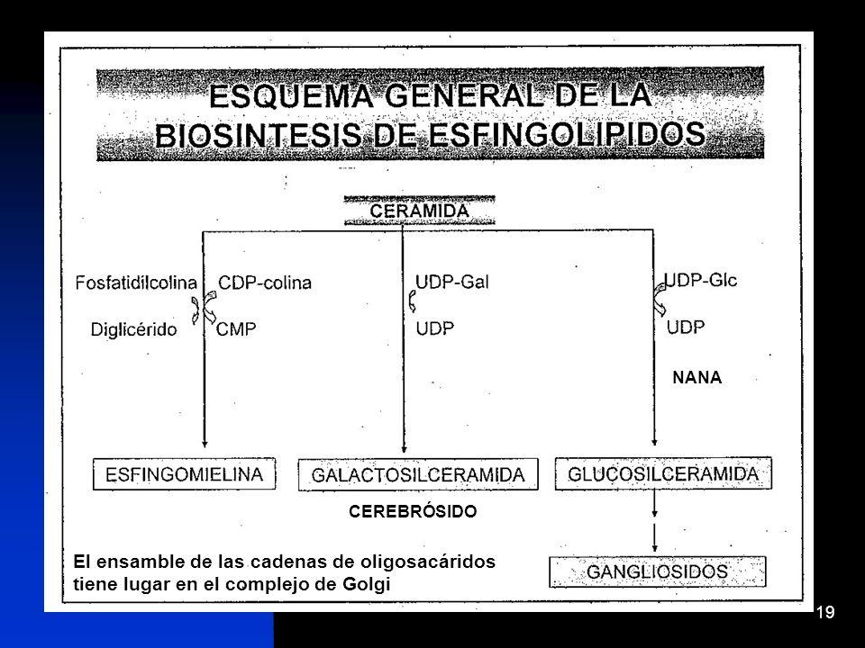 19 CEREBRÓSIDO NANA El ensamble de las cadenas de oligosacáridos tiene lugar en el complejo de Golgi