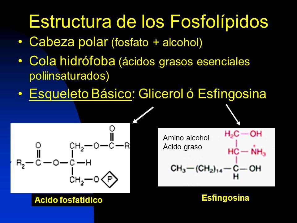 Estructura de los Fosfolípidos Cabeza polar (fosfato + alcohol) Cola hidrófoba (ácidos grasos esenciales poliinsaturados) Esqueleto Básico: Glicerol ó