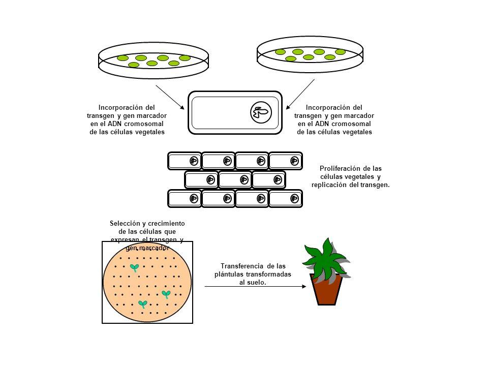 Incorporación del transgen y gen marcador en el ADN cromosomal de las células vegetales Proliferación de las células vegetales y replicación del transgen.