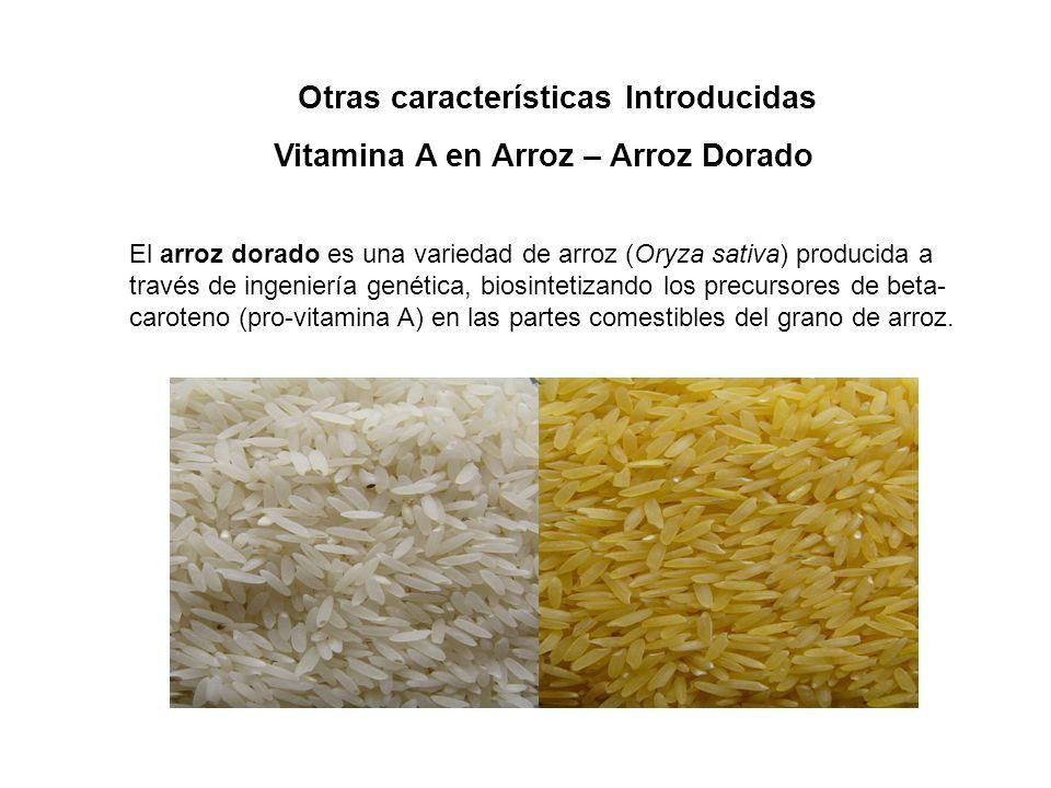 Vitamina A en Arroz – Arroz Dorado Otras características Introducidas El arroz dorado es una variedad de arroz (Oryza sativa) producida a través de ingeniería genética, biosintetizando los precursores de beta- caroteno (pro-vitamina A) en las partes comestibles del grano de arroz.
