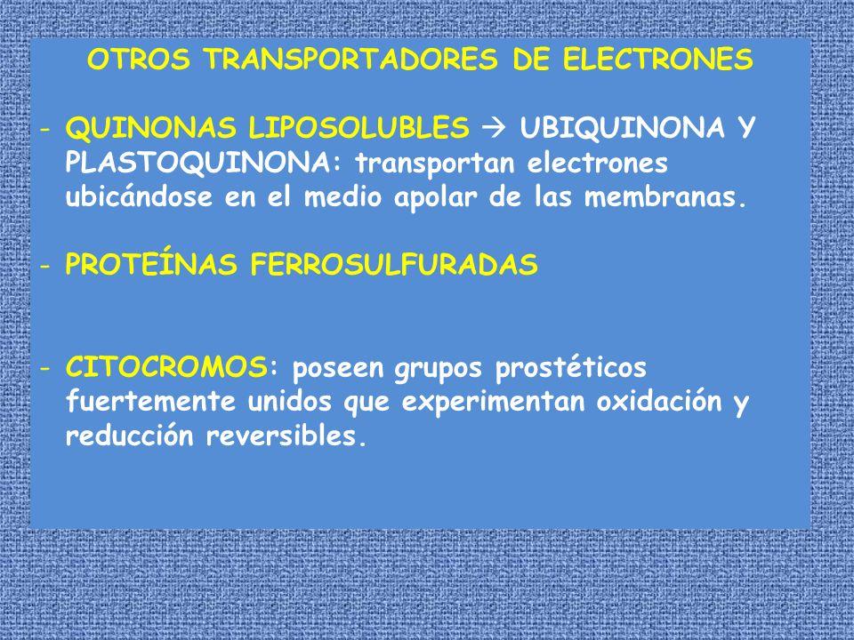OTROS TRANSPORTADORES DE ELECTRONES -QUINONAS LIPOSOLUBLES UBIQUINONA Y PLASTOQUINONA: transportan electrones ubicándose en el medio apolar de las mem