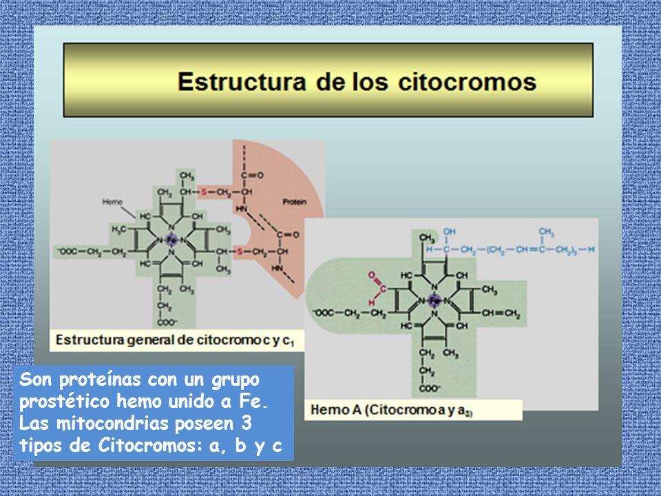 Son proteínas con un grupo prostético hemo unido a Fe. Las mitocondrias poseen 3 tipos de Citocromos: a, b y c