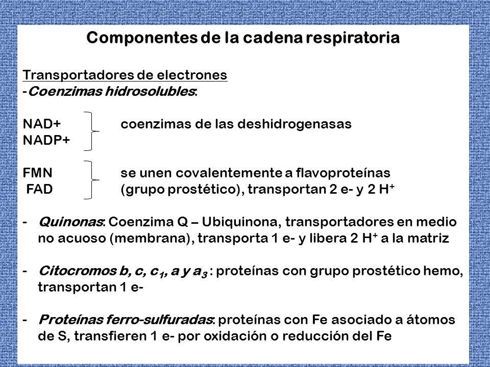 Componentes de la cadena respiratoria Transportadores de electrones -Coenzimas hidrosolubles: NAD+coenzimas de las deshidrogenasas NADP+ FMN se unen c
