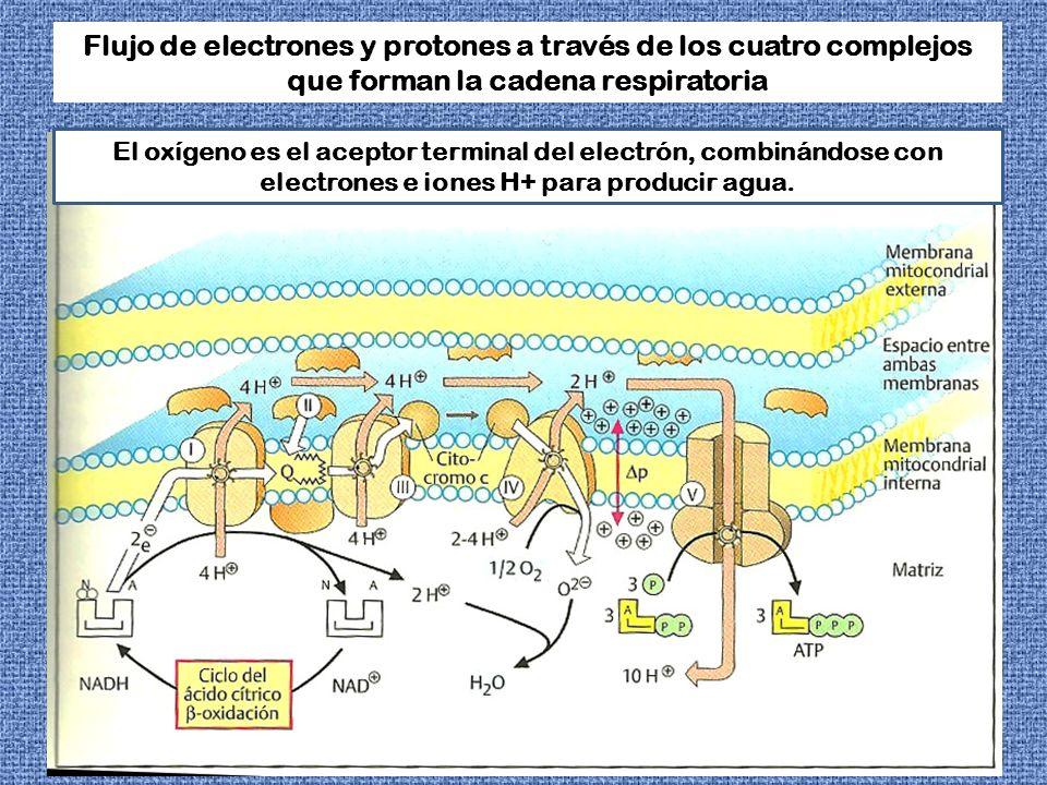 Flujo de electrones y protones a través de los cuatro complejos que forman la cadena respiratoria El oxígeno es el aceptor terminal del electrón, comb