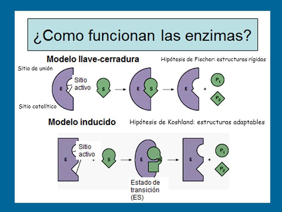 Sitio de unión Sitio catalítico Hipótesis de Fischer: estructuras rígidas Hipótesis de Koshland: estructuras adaptables