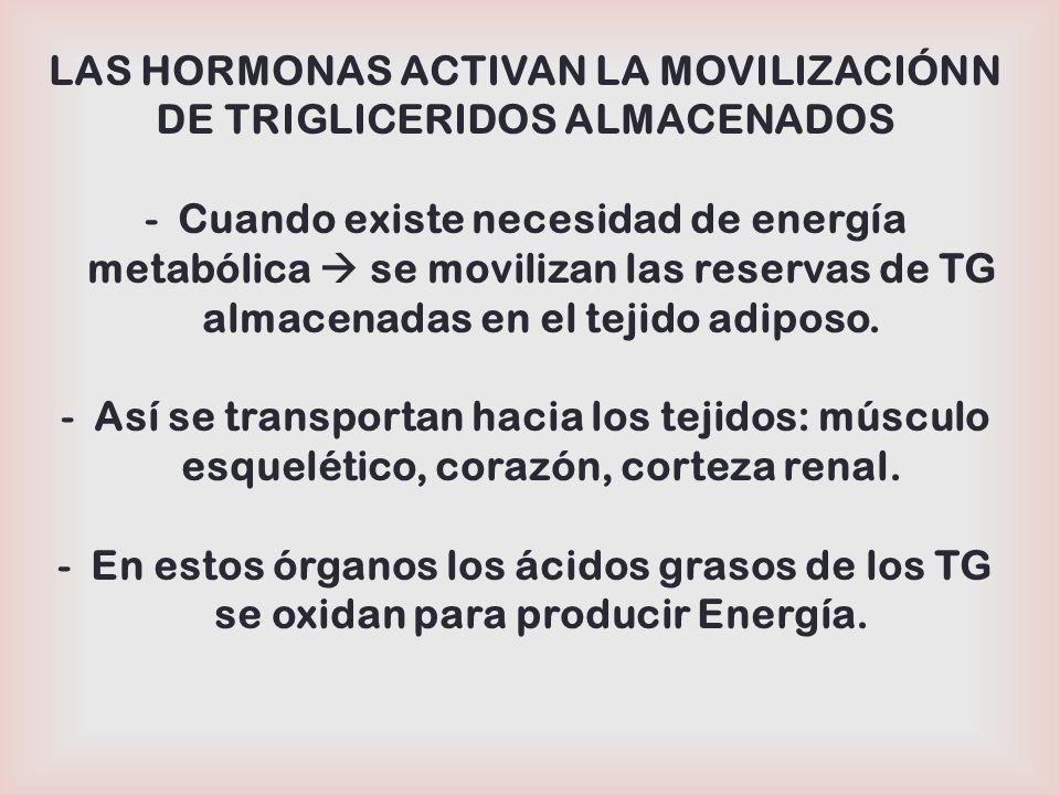 Adrenalina Glucagón Hipoglucemia Lipasa Hormona Sensible