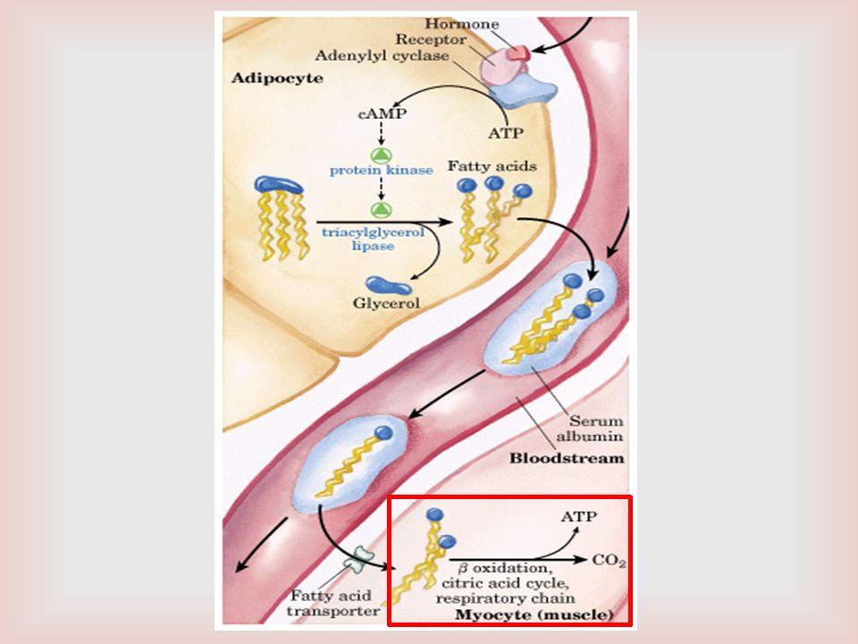 BALANCE ENERGÉTICO PRODUCCIÓN DE ATP EN LA BETA- OXIDACIÓN 7 MOLÉCULAS DE FADH 2 2 ATP X 7= 14 ATP 7 MOLÉCULAS DE NADH 3 ATP X 7= 21 ATP SUBTOTAL 35 ATP 8 MOLECULAS ACETIL CoA 12ATP X 8= 96 ATP SUBTOTAL = 131 ATP OXIDACIÓN DE PALMITATO A PALMITOIL CoA = - 2 ATP TOTAL 129 ATP