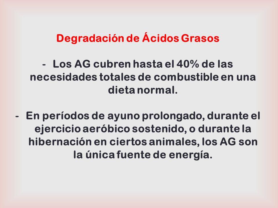 26 Formación de Cuerpos Cetónicos (Cetogénesis) Después de la degradación de los AG, Acetil-CoA es oxidado en el Ciclo de Krebs.