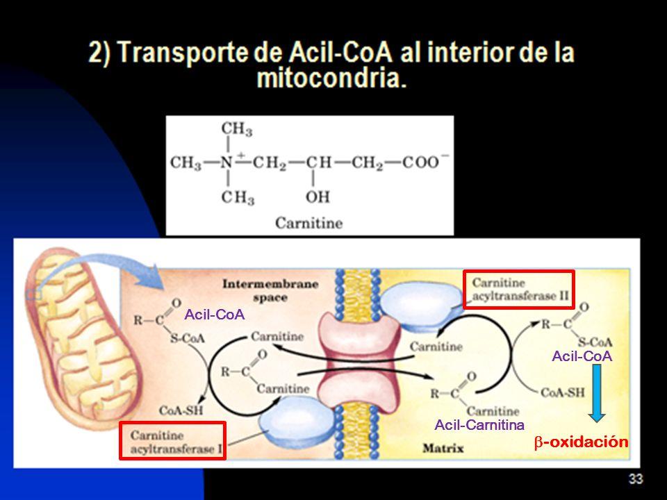 29 Formación y exportación de cuerpos cetónicos Los cuerpos cetónicos se forman y exportan desde el hígado.