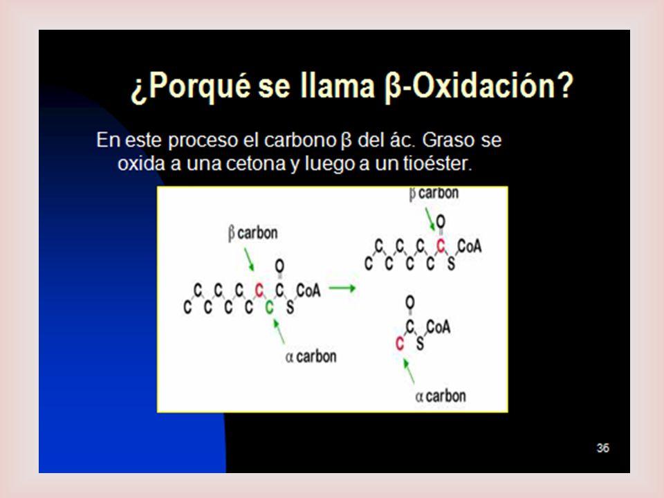 β - Oxidación de Ac.Grasos Los AG de cadena larga son procesados por las mismas 4 etapas cíclicas.