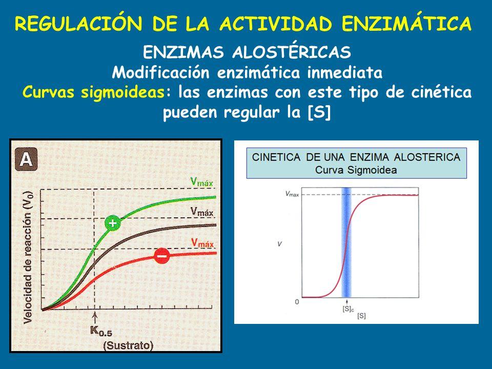 REGULACIÓN DE LA ACTIVIDAD ENZIMÁTICA ENZIMAS ALOSTÉRICAS Modificación enzimática inmediata Curvas sigmoideas: las enzimas con este tipo de cinética p