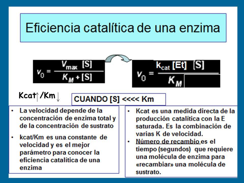Hígado: no inhibida por G-6-P Músculo: inhibida por G-6-P