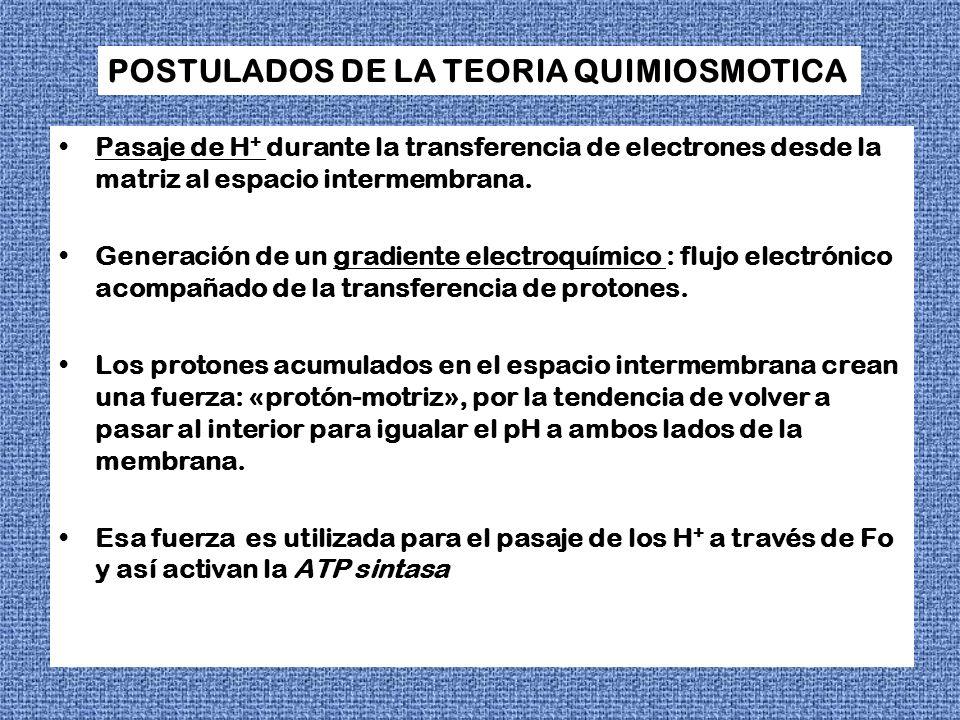 POSTULADOS DE LA TEORIA QUIMIOSMOTICA Pasaje de H + durante la transferencia de electrones desde la matriz al espacio intermembrana. Generación de un
