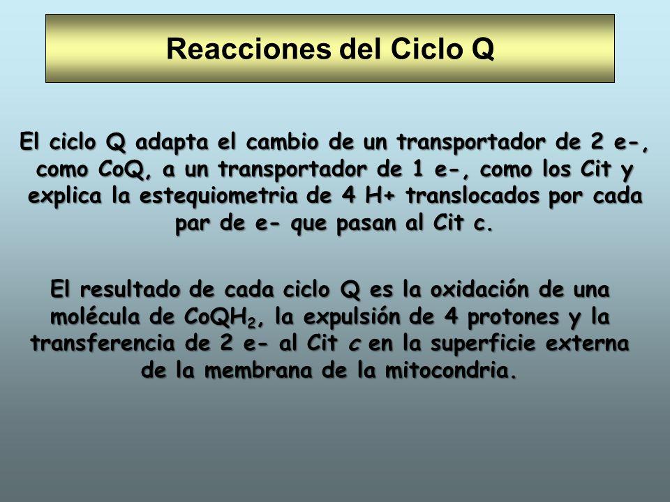 Reacciones del Ciclo Q El resultado de cada ciclo Q es la oxidación de una molécula de CoQH 2, la expulsión de 4 protones y la transferencia de 2 e- a