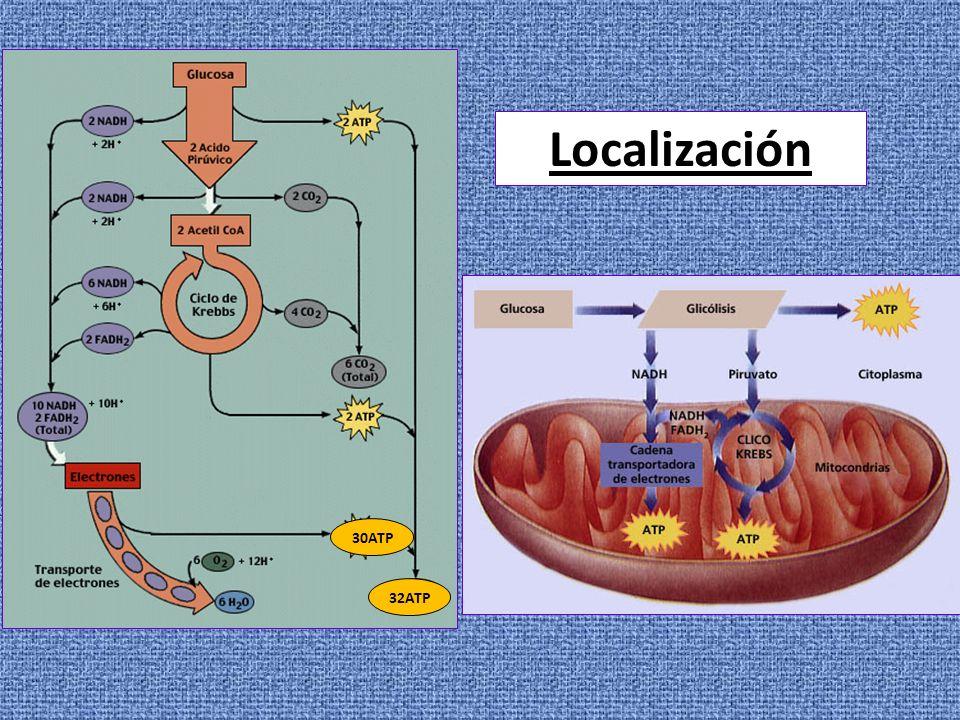 Componentes de la cadena respiratoria Transportadores de electrones -Coenzimas hidrosolubles: NAD+coenzimas de las deshidrogenasas NADP+ FMN se unen covalentemente a flavoproteínas FAD(grupo prostético), transportan 2 e- y 2 H + -Quinonas: Coenzima Q – Ubiquinona, transportadores en medio no acuoso (membrana), transporta 1 e- y libera 2 H + a la matriz -Citocromos b, c, c 1, a y a 3 : proteínas con grupo prostético hemo, transportan 1 e- -Proteínas ferro-sulfuradas: proteínas con Fe asociado a átomos de S, transfieren 1 e- por oxidación o reducción del Fe