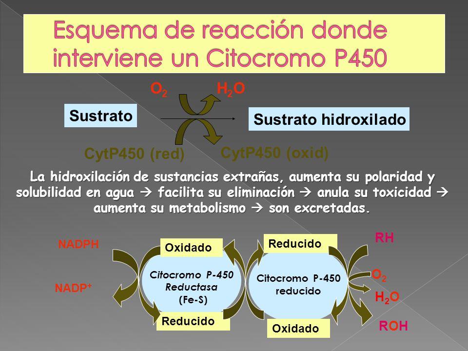 NADPH NADP + CytP450 (oxid) CytP450 (red) Sustrato Sustrato hidroxilado O2O2 H2OH2O Citocromo P-450 Reductasa (Fe-S) Citocromo P-450 reducido RH ROHRO
