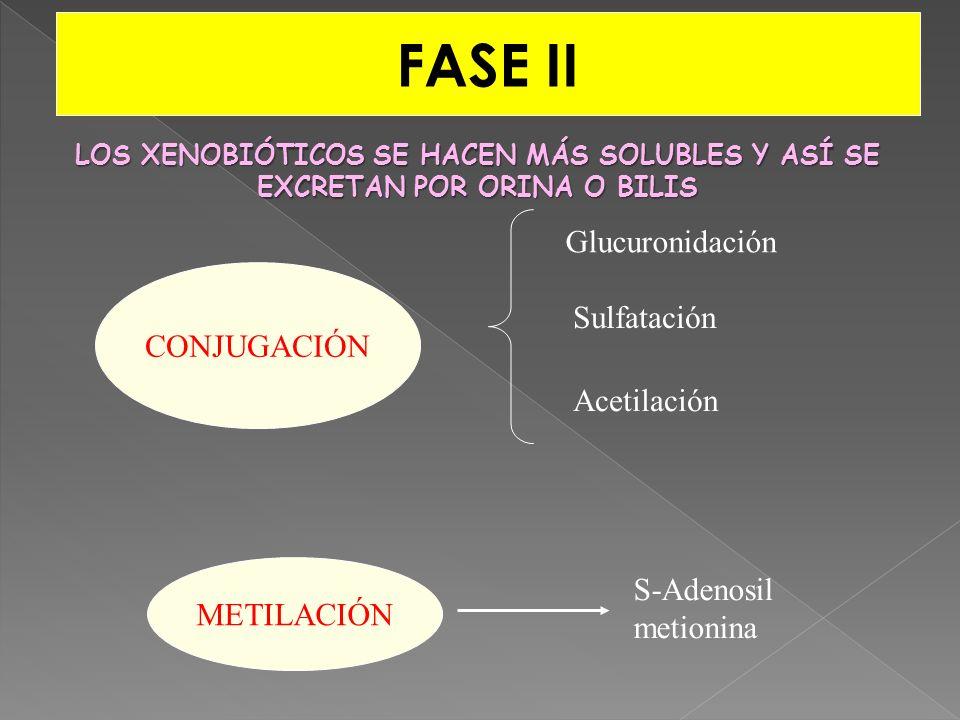 FASE II CONJUGACIÓN Glucuronidación Sulfatación Acetilación METILACIÓN S-Adenosil metionina LOS XENOBIÓTICOS SE HACEN MÁS SOLUBLES Y ASÍ SE EXCRETAN P