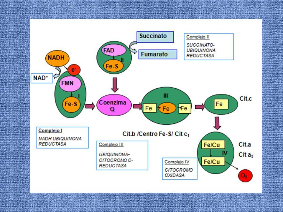 INHIBICION DEL TRANSPORTE ELECTRÓNICO Inhibidores del transporte electrónico Inhiben solamente el transporte de e - Inhibidores de la fosforilación Inhiben la síntesis de ATP, indirectamente el transporte de e - Desacoplantes Impiden la síntesis de ATP pero no inhiben el transporte de electrones.