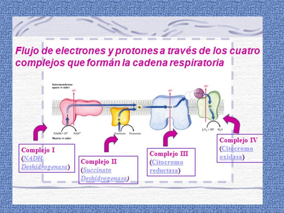 NADPH NADP + CytP450 (oxid) CytP450 (red) Sustrato Sustrato hidroxilado O2O2 H2OH2O Citocromo P-450 Reductasa (Fe-S) Citocromo P-450 reducido RH ROHROH O2O2 H2OH2O Oxidado Reducido Oxidado La hidroxilación de sustancias extrañas, aumenta su polaridad y solubilidad en agua facilita su eliminación anula su toxicidad aumenta su metabolismo son excretadas.