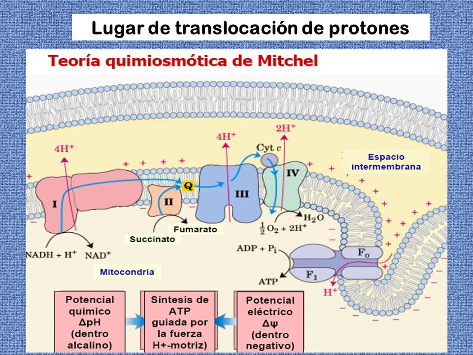 POSTULADOS DE LA TEORIA QUIMIOSMOTICA Pasaje de H + durante la transferencia de electrones desde la matriz al espacio intermembrana.