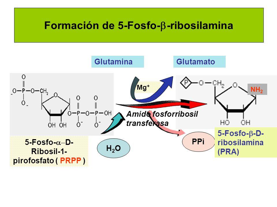 Formación de 5-Fosfo- -ribosilamina GlutaminaGlutamato H2OH2O PPi Mg + Amido fosforribosil transferasa NH 2 5-Fosfo- D- Ribosil-1- pirofosfato ( PRPP