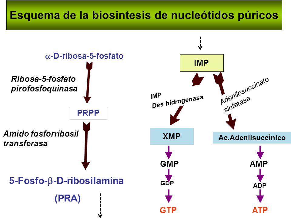Esquema de la biosintesis de nucleótidos púricos -D-ribosa-5-fosfato PRPP 5-Fosfo- -D-ribosilamina (PRA) IMP GTP GDP GMPAMP ADP ATP Amido fosforribosi
