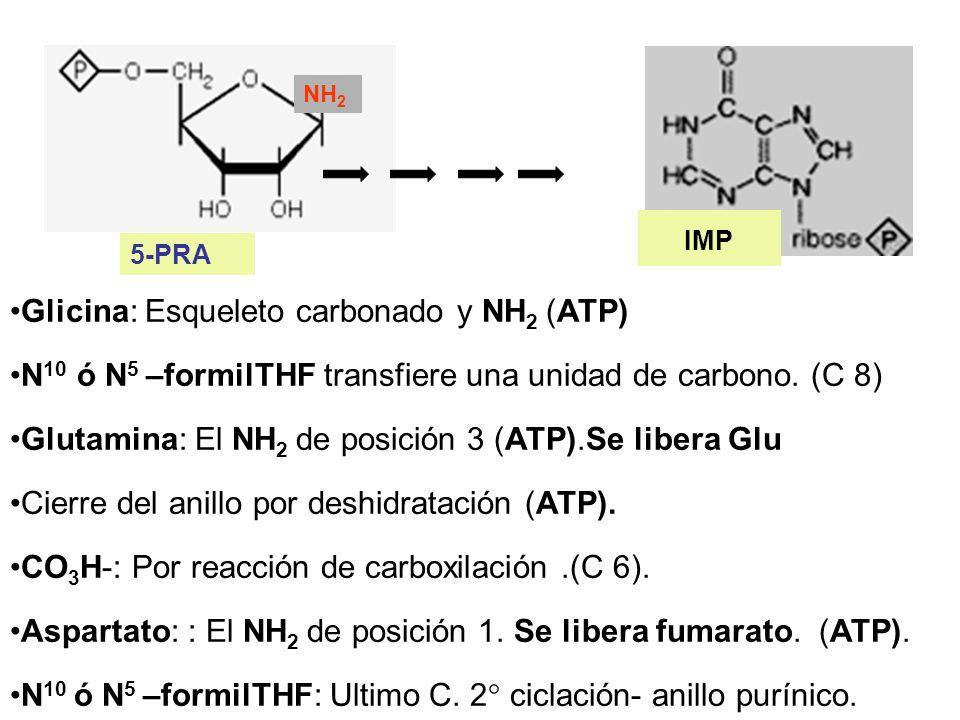 NH 2 5-PRA Glicina: Esqueleto carbonado y NH 2 (ATP) N 10 ó N 5 –formilTHF transfiere una unidad de carbono. (C 8) Glutamina: El NH 2 de posición 3 (A