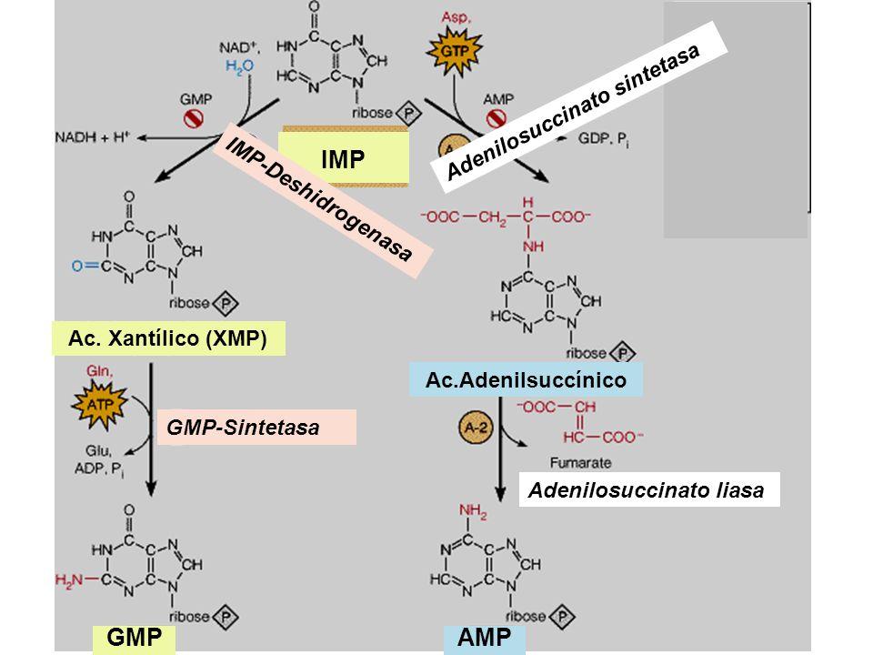 Ac. Xantílico (XMP) GMP-Sintetasa IMP-Deshidrogenasa GMPAMP Ac.Adenilsuccínico Adenilosuccinato sintetasa Adenilosuccinato liasa