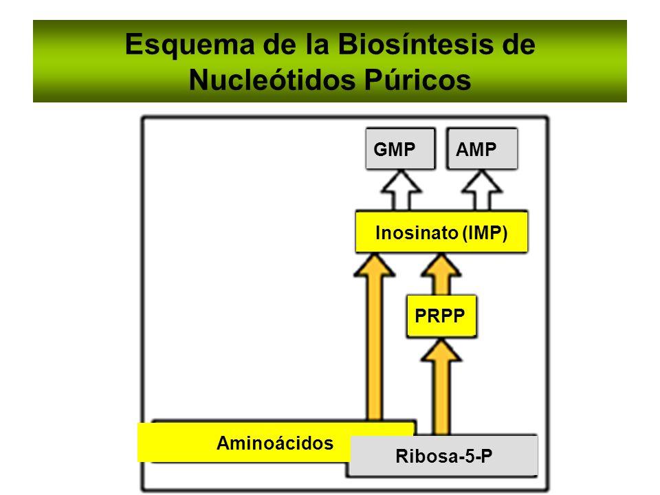 Esquema de la Biosíntesis de Nucleótidos Púricos GMPAMP Inosinato (IMP) PRPP Aminoácidos Ribosa-5-P