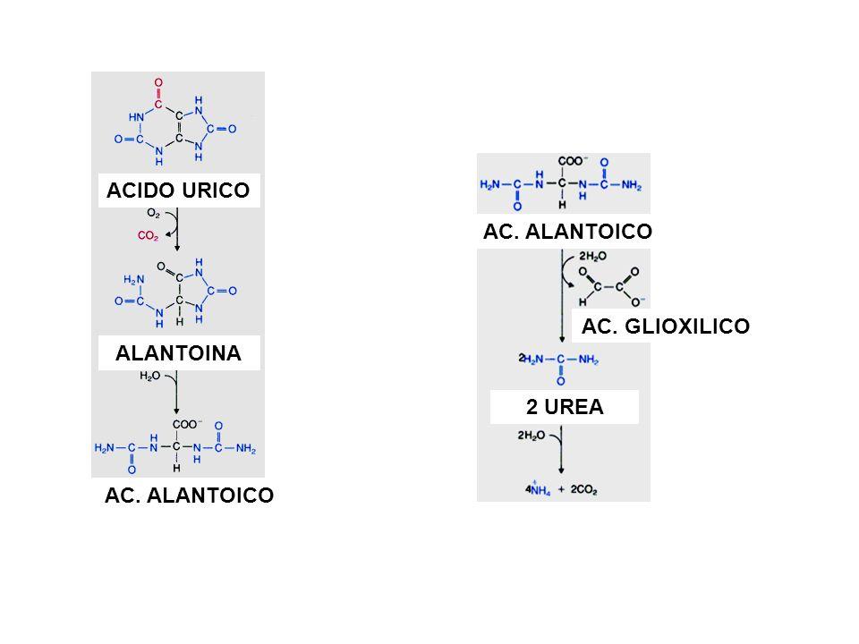 ACIDO URICO ALANTOINA AC. ALANTOICO AC. GLIOXILICO 2 UREA