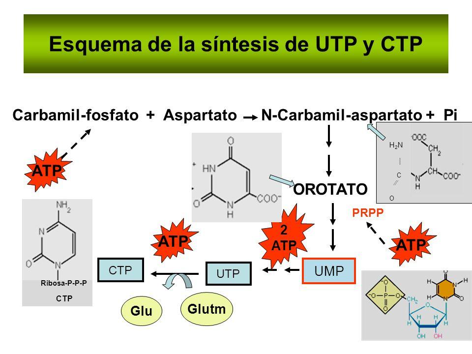Esquema de la síntesis de UTP y CTP Carbamil-fosfato + Aspartato N-Carbamil-aspartato + Pi OROTATO PRPP UMP CTP UTP Glutm Glu ATP 2 ATP H 2 N C O Ribo