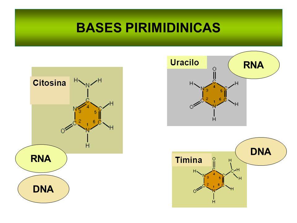 BASES PIRIMIDINICAS Citosina Timina DNA RNA DNA Uracilo RNA