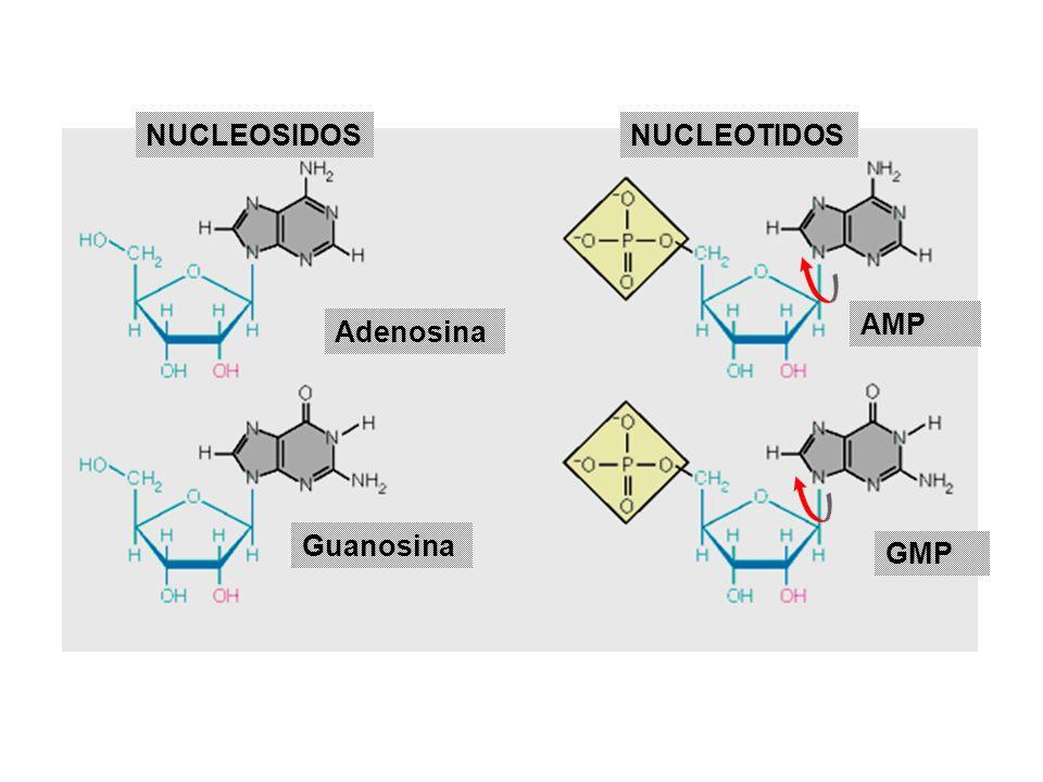 Guanosina Adenosina AMP GMP NUCLEOSIDOSNUCLEOTIDOS