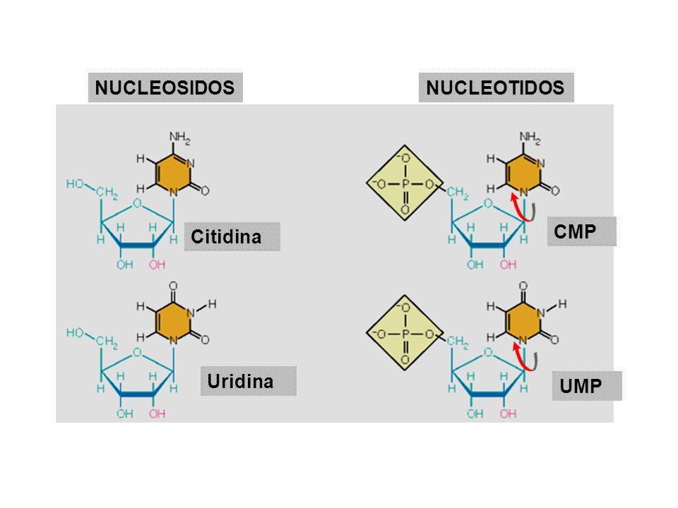 NUCLEOSIDOSNUCLEOTIDOS Citidina Uridina CMP UMP