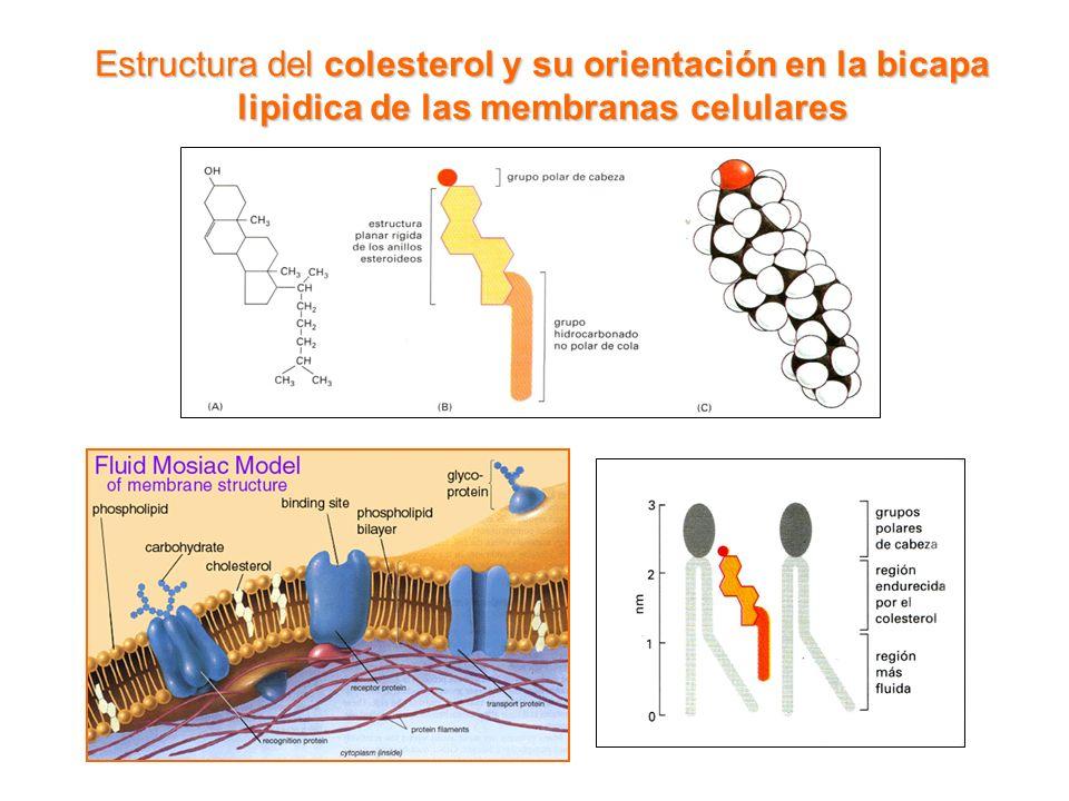 Biosíntesis de Colesterol (fases principales) QUIMICA BIOLOGICA Lic.