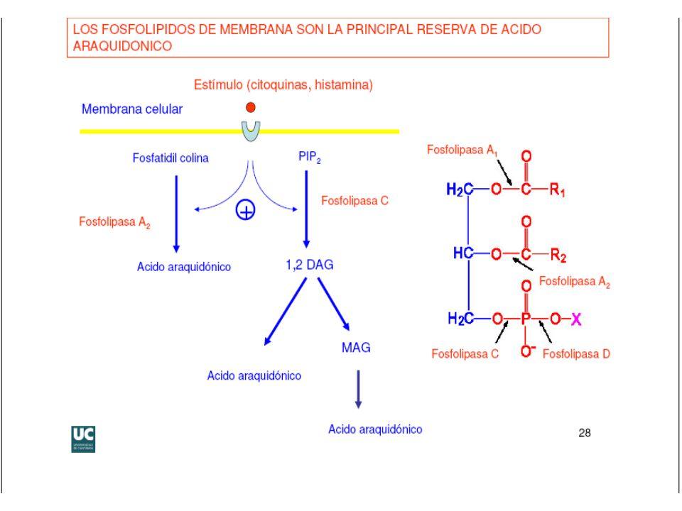 QUIMICA BIOLOGICA Lic. en Biol. Molec. e Ing. en Alim. Biosíntesis de eicosanoides
