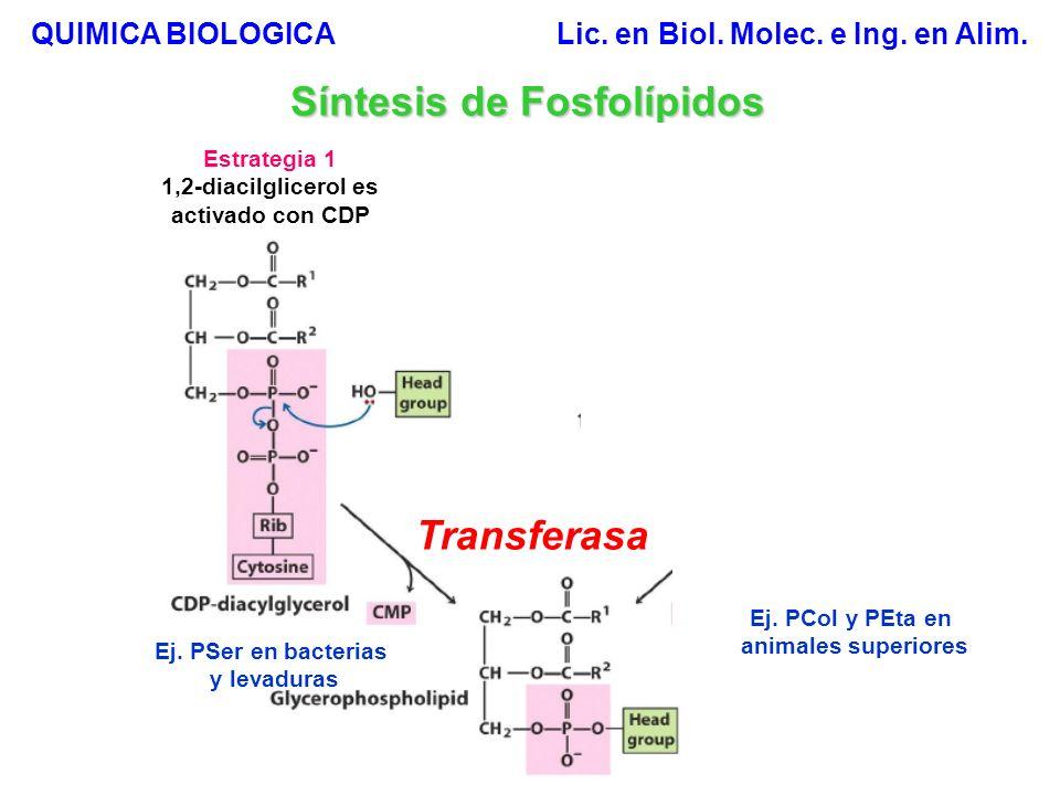 ADP Síntesis de Fosfolípidos Estrategia 2 1B.Síntesis de fosfatidiletanolamina y fosfatidilcolina.