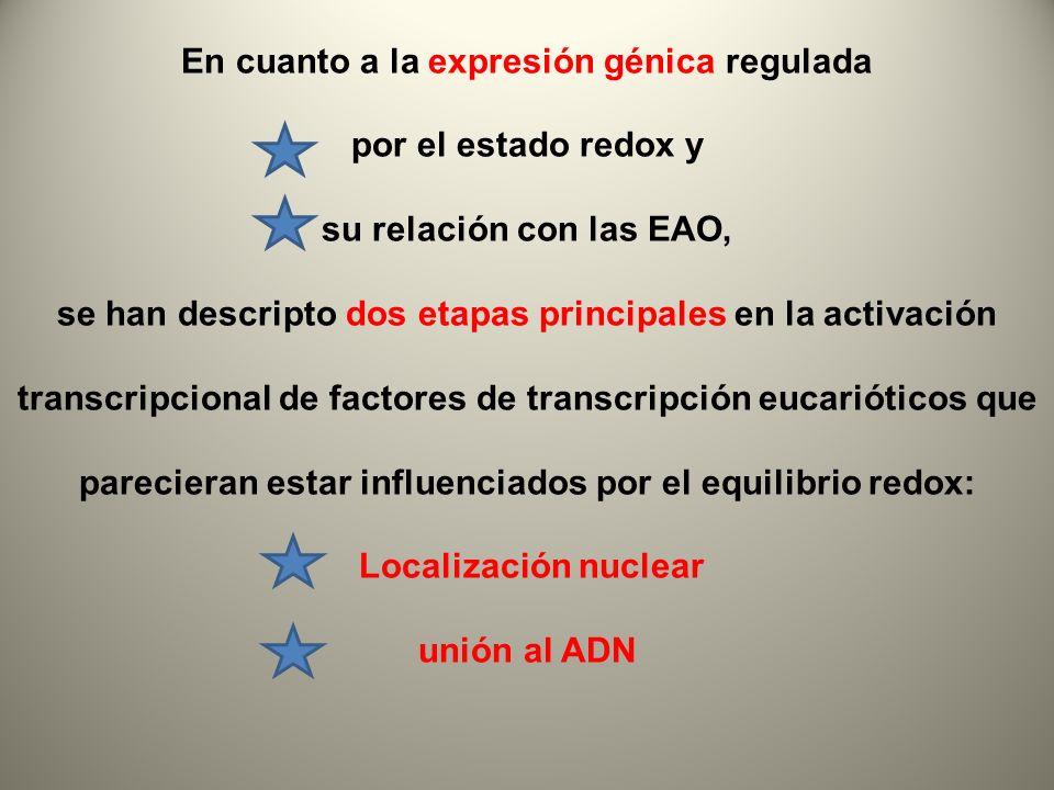 En cuanto a la expresión génica regulada por el estado redox y su relación con las EAO, se han descripto dos etapas principales en la activación trans