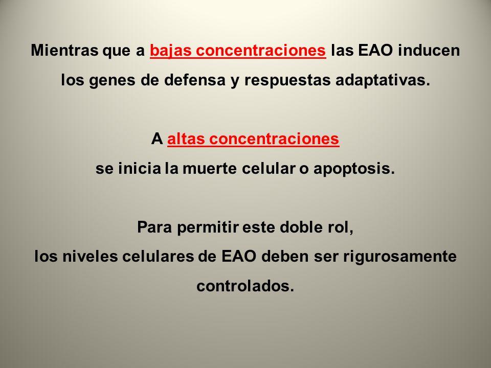 Mientras que a bajas concentraciones las EAO inducen los genes de defensa y respuestas adaptativas. A altas concentraciones se inicia la muerte celula