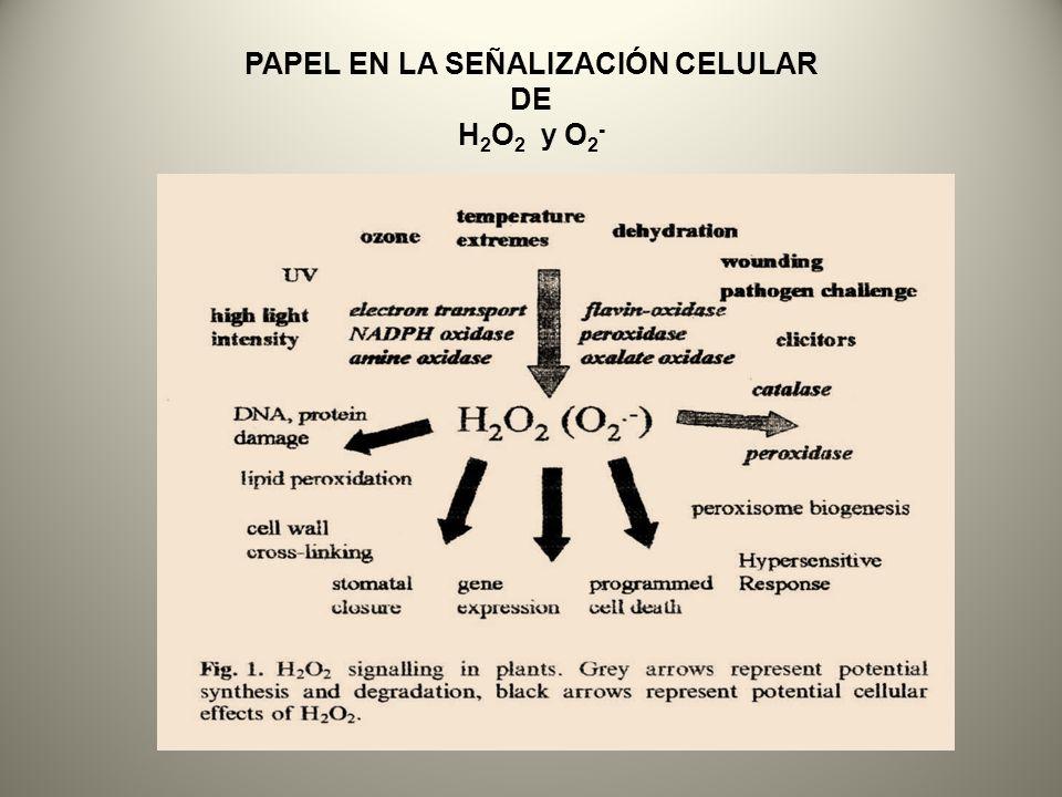 PAPEL EN LA SEÑALIZACIÓN CELULAR DE H 2 O 2 y O 2 -