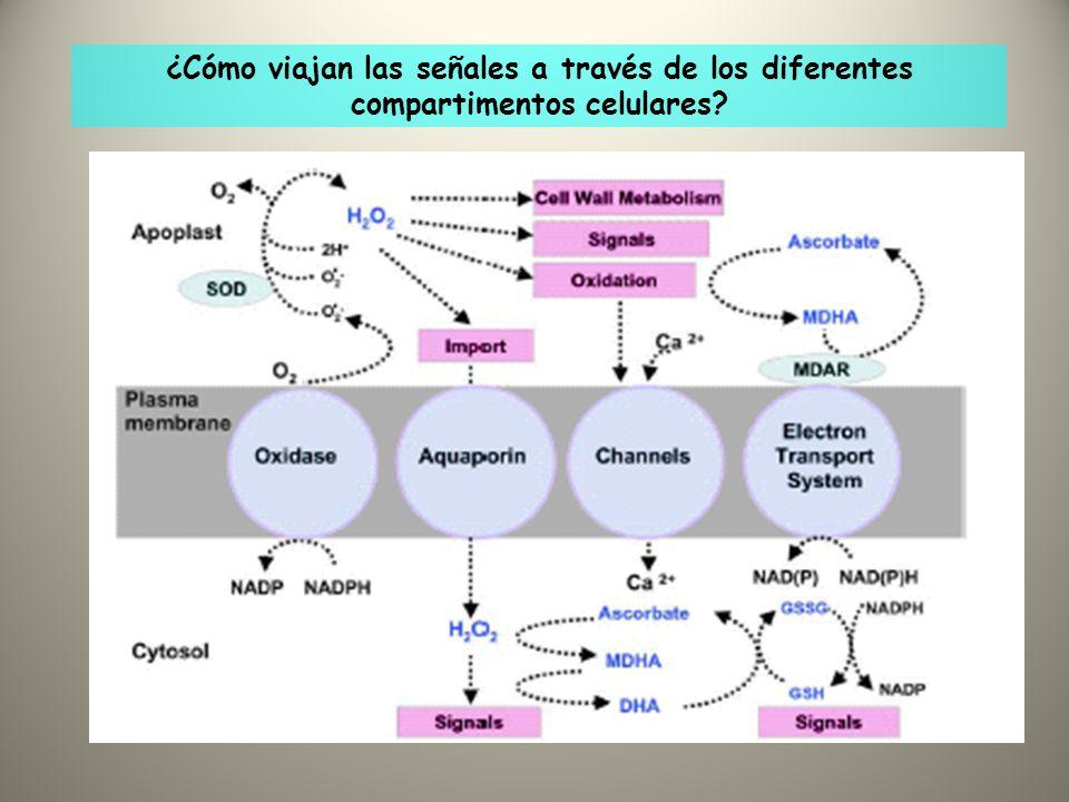 ¿Cómo viajan las señales a través de los diferentes compartimentos celulares?