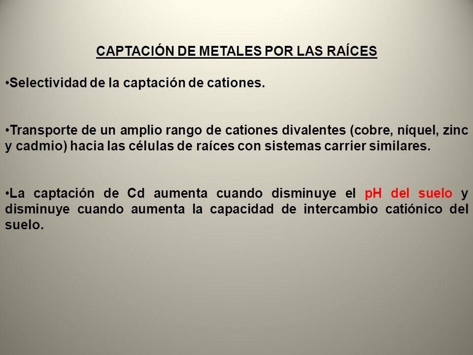 CAPTACIÓN DE METALES POR LAS RAÍCES Selectividad de la captación de cationes. Transporte de un amplio rango de cationes divalentes (cobre, níquel, zin