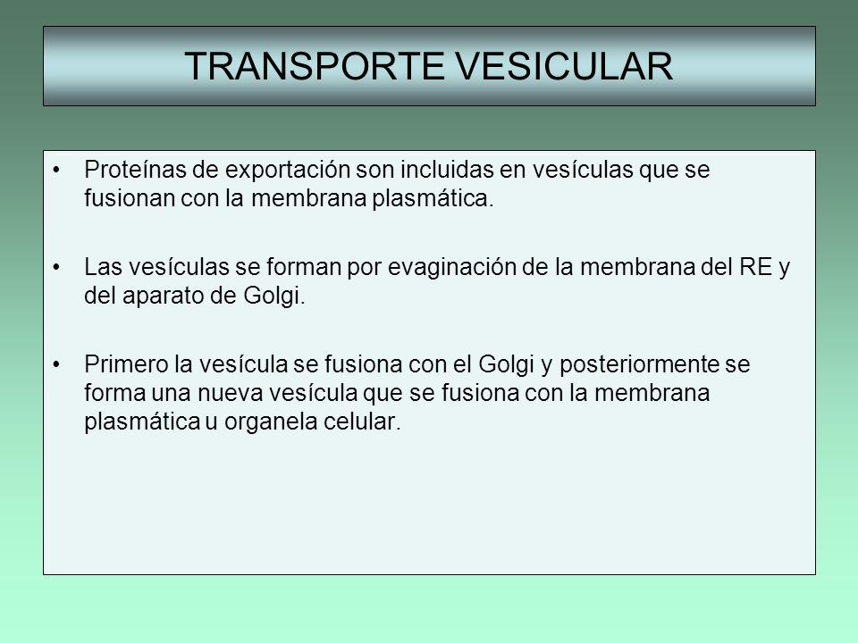 TRANSPORTE VESICULAR Proteínas de exportación son incluidas en vesículas que se fusionan con la membrana plasmática. Las vesículas se forman por evagi