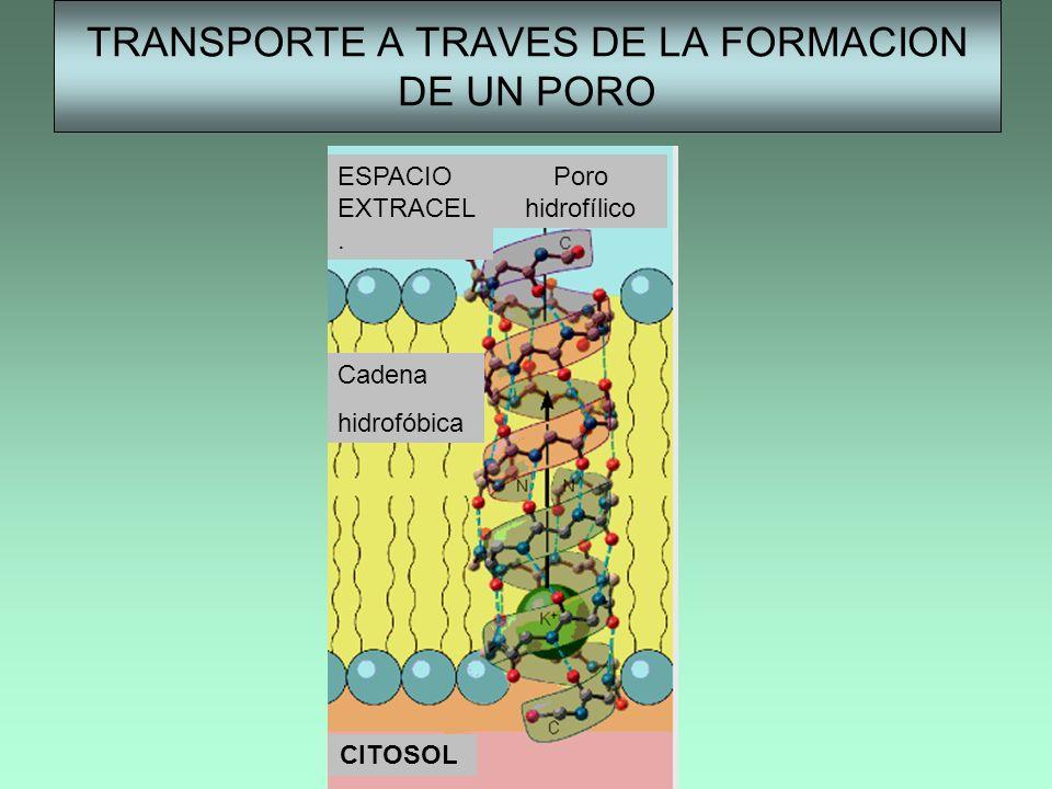 TRANSPORTE A TRAVES DE LA FORMACION DE UN PORO CITOSOL ESPACIO EXTRACEL. Poro hidrofílico Cadena hidrofóbica