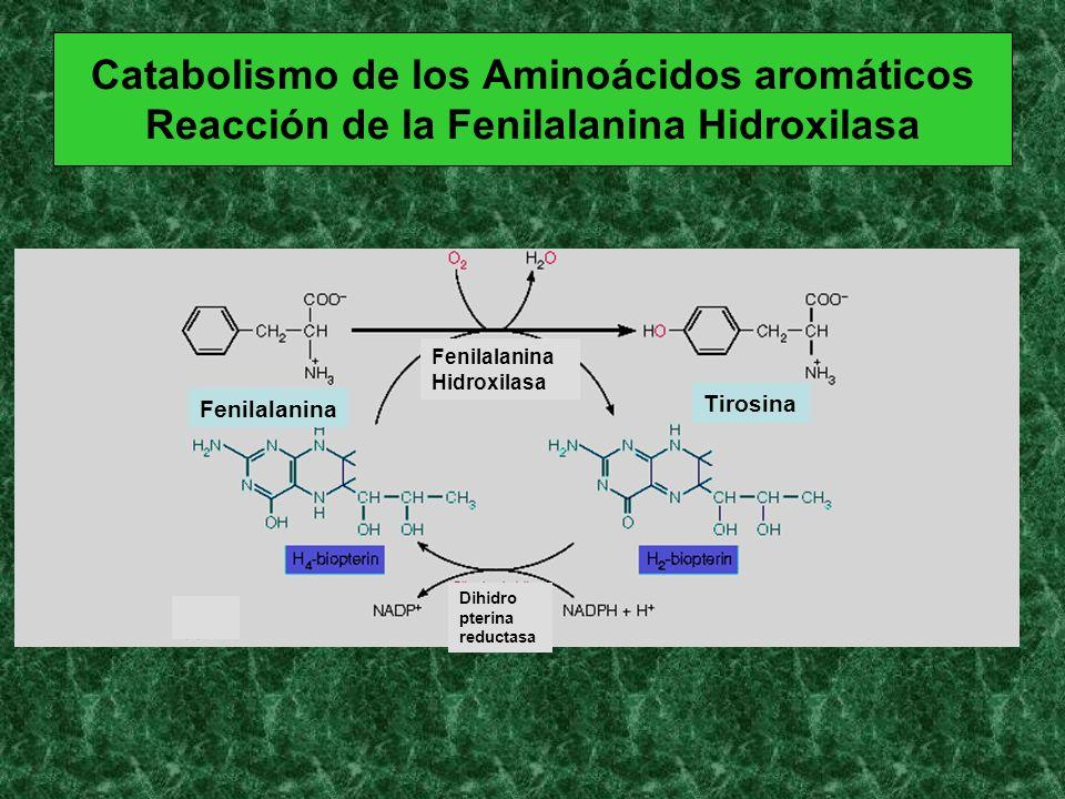 Catabolismo de los Aminoácidos aromáticos Reacción de la Fenilalanina Hidroxilasa Fenilalanina Tirosina Fenilalanina Hidroxilasa Dihidro pterina reduc
