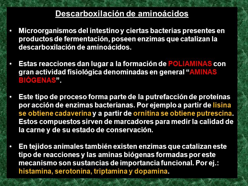 Descarboxilación de aminoácidos Microorganismos del intestino y ciertas bacterias presentes en productos de fermentación, poseen enzimas que catalizan